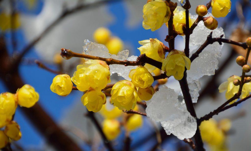 冬の花といえば