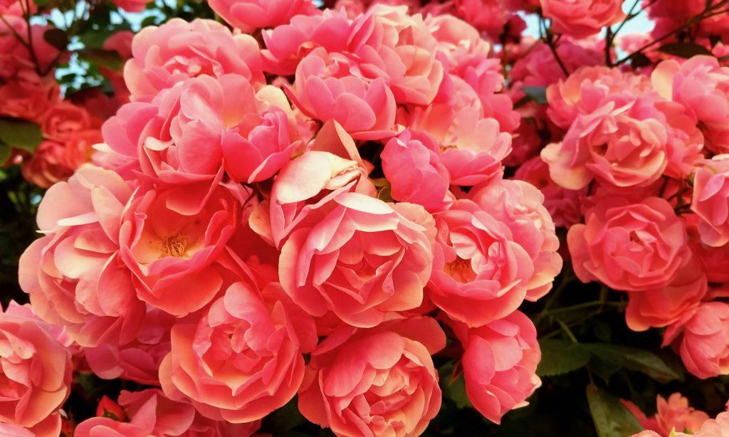春の花 バラ