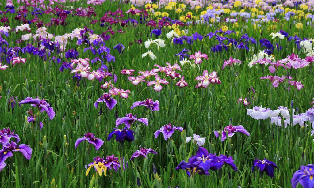 春の花 花菖蒲