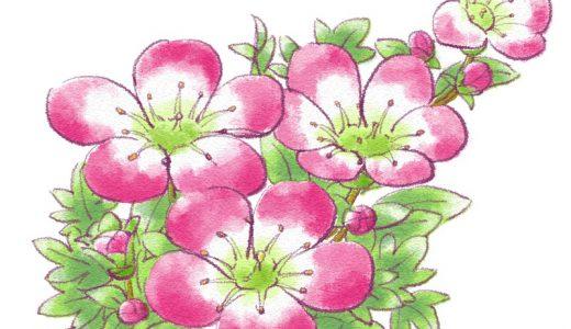 クモマグサってどんな花?特徴や開花時期をかんたん紹介