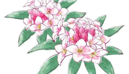 沈丁花とは?特徴や歴史、開花時期、花言葉など徹底紹介