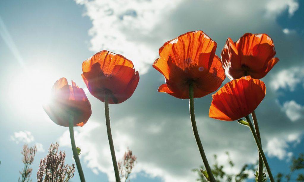 ヒナゲシ 花言葉