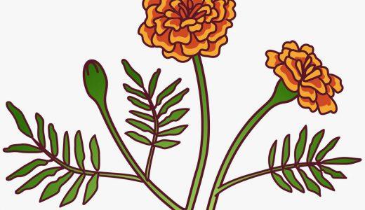 マリーゴールドはどんな花?特徴や種類、豆知識を紹介